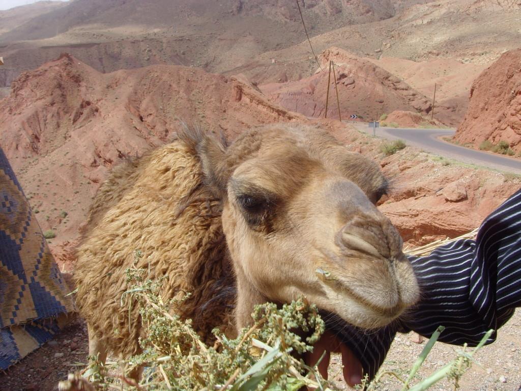 Ein Foto vom Wert eines Halstuchs: Junges Kamel am Straßenrand.
